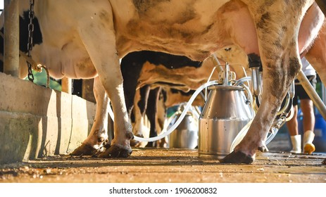 Cow discovers the meaning of being on a cow farm, animal husbandry in farm, row of cows being milked with milking machine, Cattle grazing in a field.