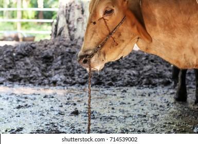 Cow disease in farm.