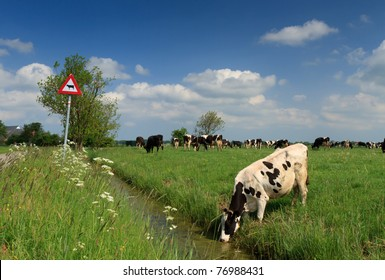 Cow drinking in front of cow traffic sign in Holland.