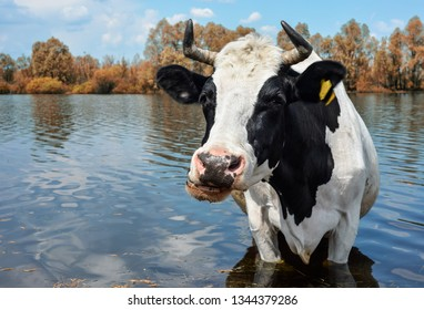 Cow drinking water near spring pasture. Black and white funny cow on a watering place near farm. Farm animals