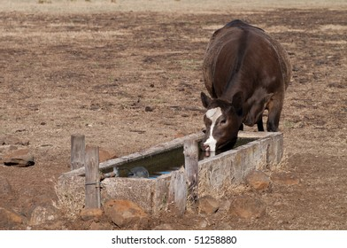Cow drinking from water trough in dry paddock
