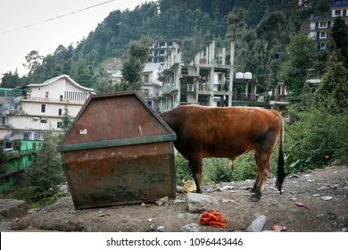 cow in dumpster in India