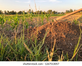 Cow dung, manure rotted compost organic fertilizer for agriculture, Cow manure with a hoe