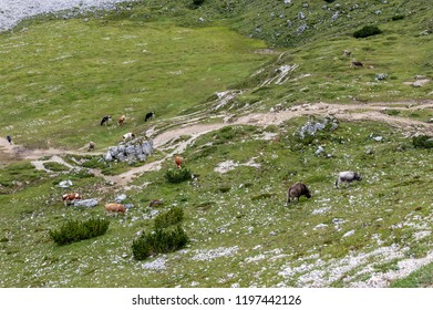 A cow dwarfed away by it's surroundings, on a meadow high up in the mountains in the Tre Cime National Park, in the Italian Dolomites on a Summer Afternoon
