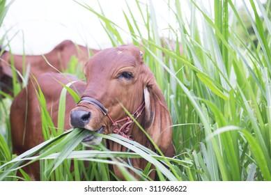 Cow eat grass