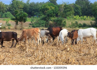 Cow eating dry grass