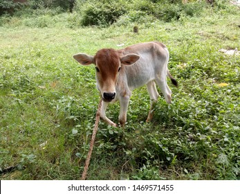 cow eating the gras in the jungel