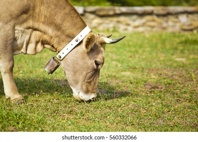 Cow eating in grass
