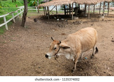 cow eating the grass in the farm