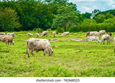 Cow is eating grass in a cow farm in Thailand.