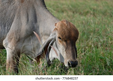 A cow is eating grass in the field