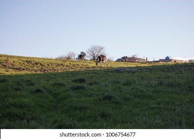 Cow eating grass in the middle of the field. Cow from a farm in Asturias, Spain.