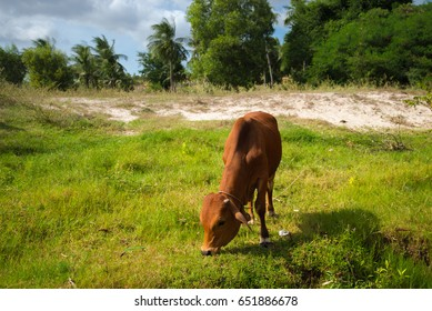 Cow eating grass with tree at background.