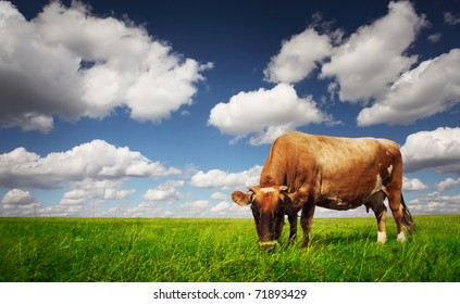 Cow eating green grass on a meadow on blue cloudy sky background.