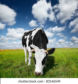 Cow eating green grass on a meadow