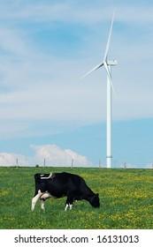 a cow eating near a windturbine - France