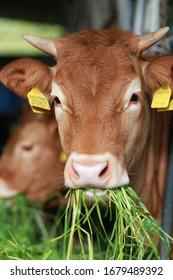 Cow eating on a farm