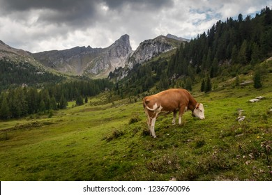 Cow eating on mountain valley pasture in Italian Alps, Dolomites