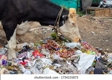 Cow eating trash from illegal landfill. Cow eat food on a garbage dump. A common scene in most of the places in India.