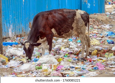 Cow eating trash plastic bag from garbage dump