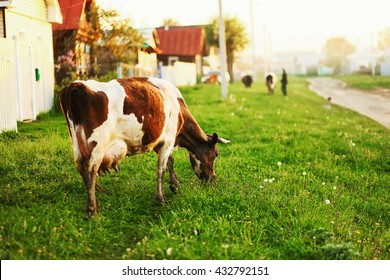 The cow eats the grass going through the village.