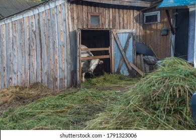 A cow eats hay and looks out of the barn. The concept of agriculture.
