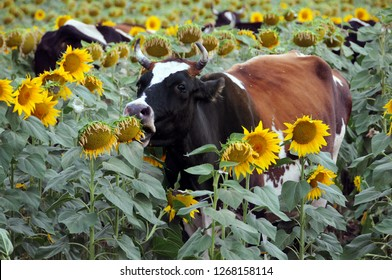 Cow eats sunflowers in the field of sunflowers