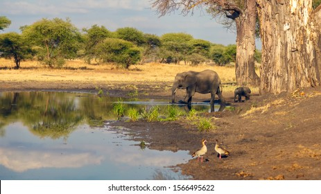 cow elephant with its baby elephant, entering water hole for mud bath