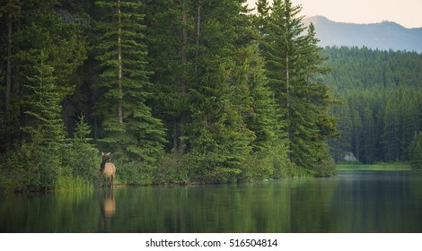 A cow elk emerges from the forest on a lake's edge in Banff National Park, Alberta.