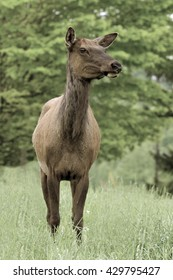 Cow Elk - Photograph taken in Elk State Forest, Elk County, Benezette, Pennsylvania