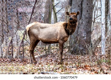 Cow elk photographed during the fall rut