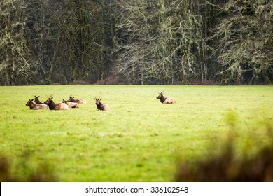 Cow Elk resting in a lush field.