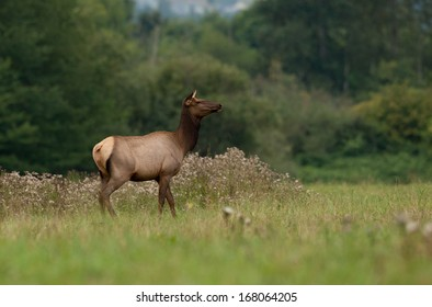 A cow elk stands alert at the edge of a meadow