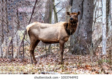 Cow elk in the woods
