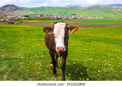 A cow enjoying green grass on a beautiful hilly countryside in Armenia.