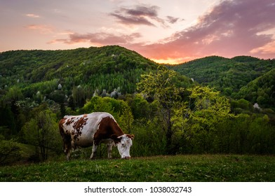 A cow in the evening lights, at the spring of 2015, near Costesti city, Romania