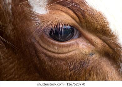 Cow Eye Lashes