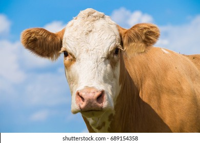Image result for beef cattle face