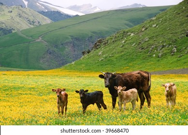 Cow family standing in yellow field in front of mountains