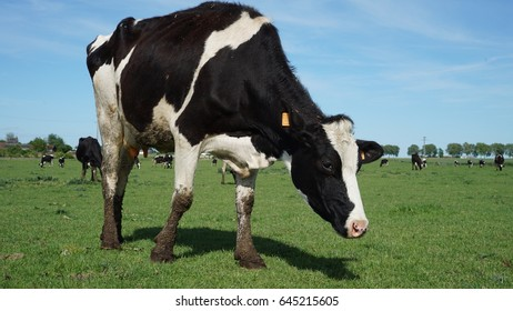 cow at farm