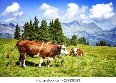 Cow, farm animal in the french alps, Abondance race cow, savy, beaufort sur Doron