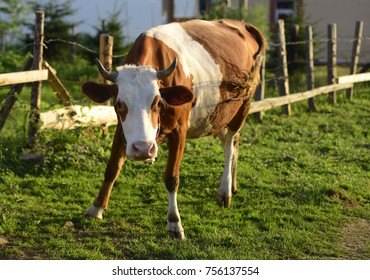 Cow, Farm animals