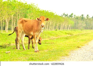 Cow in the farm of Thailand is an animal for agriculture for former or gardener in producing food or milk industry that is a foundation business in Thailand