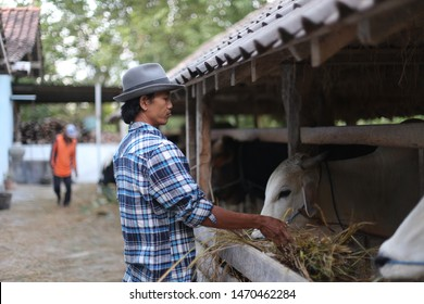 cow farmer holding field for eating cow. yogyakata indonesia. august 5, 2019.