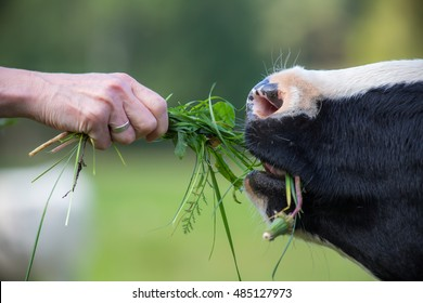 a cow is fed