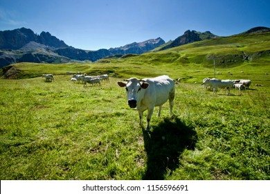Cow feeding in the mountains