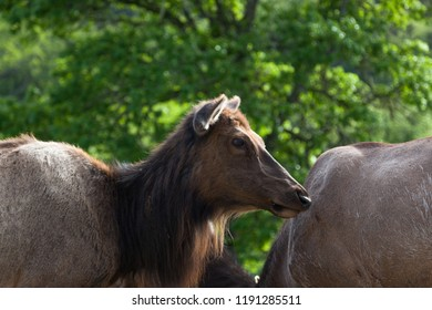 A cow or female American Elk standing in the afternoon sunlight with a green spring background.