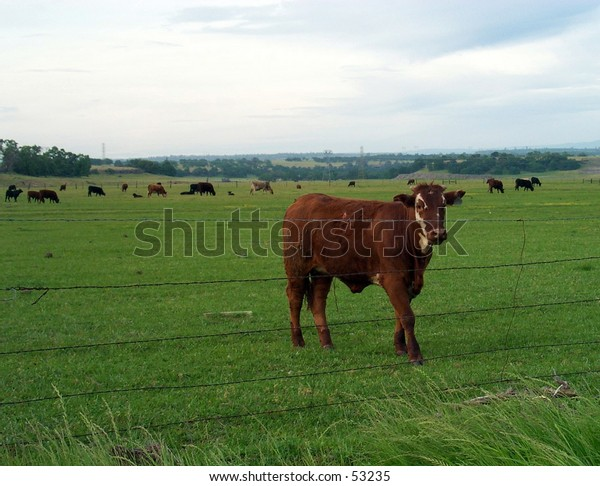 Cow in a fenced field