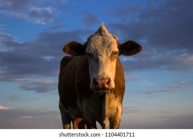 Cow in the field against the sky, sunset. A mammal is grazing in the evening