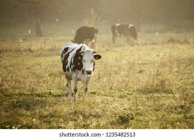 cow field grass